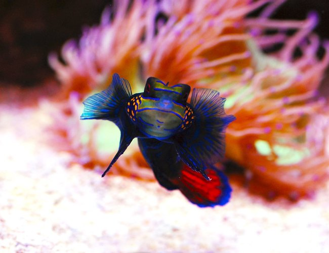 saltwater fish - synchiropus splendidus - green mandarin ( stocking in 105 gallons tank - Mandarin