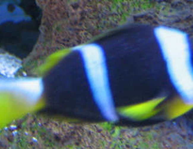 saltwater fish - amphiprion chrysopterus - bluestripe clownfish stocking in 38 gallons tank - Clownfish from africa with a little bit of ich in tank 2