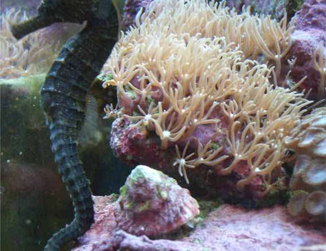 saltwater fish - hippocampus erectus - black seahorse stocking in 14 gallons tank - Seahorse named Leila