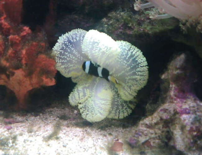 saltwater fish - amphiprion clarkii - clarkii clownfish stocking in 70 gallons tank - my crazy clown in his house