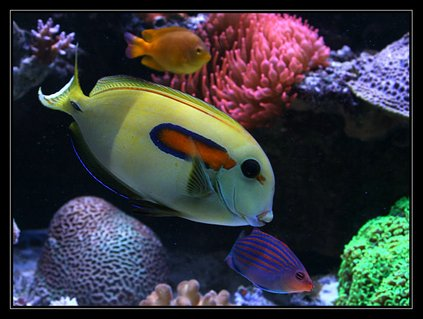 Rated #3: Saltwater Fish - Acanthurus Olivaceous - Orangeshoulder Tang Stocking In 554 Gallons Tank - acanthurus Olivaceus