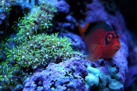 Rated #4: Saltwater Fish - Neocirrhitus Armatus - Flame Hawkfish Stocking In 75 Gallons Tank - my flame hawkfish chillin'