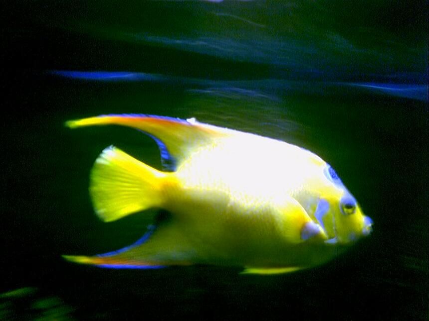 Rated #35: Saltwater Fish - Holacanthus Ciliaris - Queen Angelfish Stocking In 125 Gallons Tank - Queen Angel in my 125