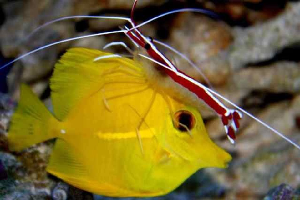 Rated #8: Saltwater Fish - Zebrasoma Flavescens - Yellow Tang - Hawaii Stocking In 90 Gallons Tank - Cleaner Shrimp working on our Yellow Tang
