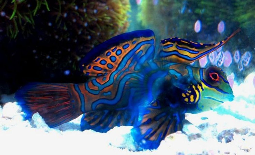 Rated #3: Saltwater Fish - Synchiropus Splendidus - Green Mandarin Stocking In 70 Gallons Tank - My Mandarin Dragonet