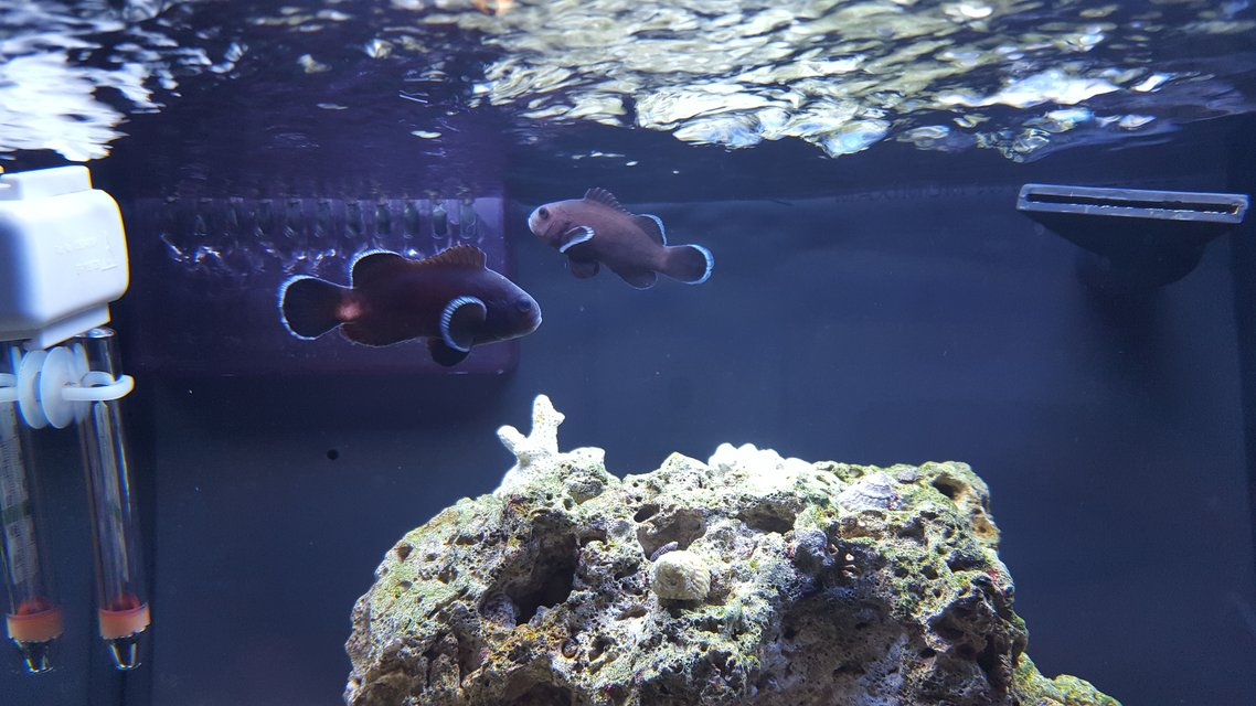 Rated #2: Saltwater Fish Stocking In 12 Gallons Tank - Midnight black clown pair.