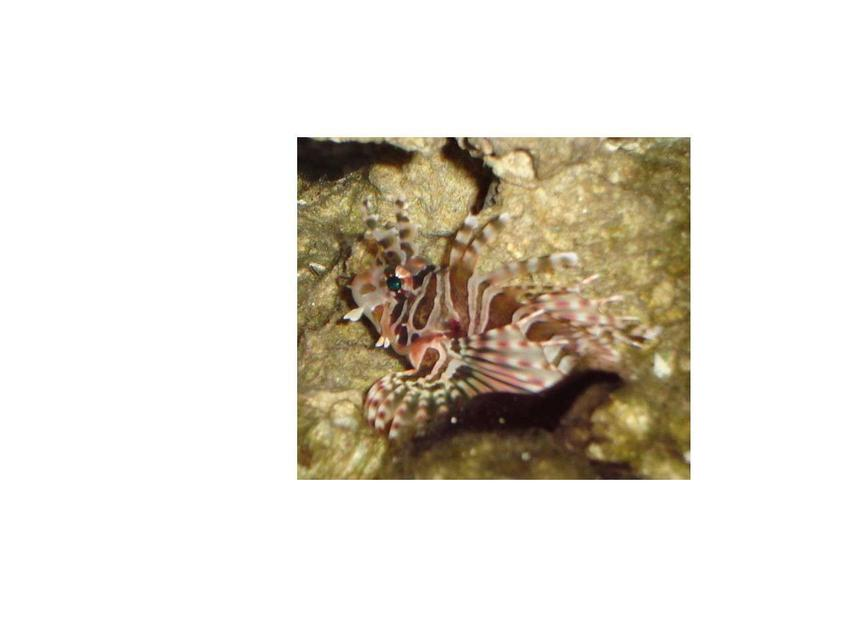 Rated #54: Saltwater Fish - Dendrochirus Zebra - Dwarf/zebra Lionfish Stocking In 20 Gallons Tank - here is my zebra lion