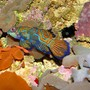 saltwater fish - pterosynchiropus splendidus var. - red mandarin