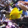 saltwater fish - zebrasoma flavescens - yellow tang - hawaii stocking in 100 gallons tank - Zebrasoma flavescens 2