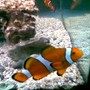 saltwater fish - amphiprion ocellaris - ocellaris clownfish stocking in 75 gallons tank - clown