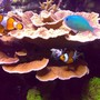 saltwater fish - amphiprion ocellaris - ocellaris clownfish stocking in 100 gallons tank - Ocellaris and chromis
