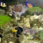 saltwater fish - gobiodon okinawae - clown goby, yellow stocking in 36 gallons tank - Coral Beauty, Clarkii Clown, Clown/Yellow Gobie and lots more