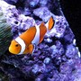 saltwater fish - amphiprion percula - true percula clownfish stocking in 120 gallons tank - False perc