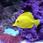 saltwater fish - zebrasoma flavescens - yellow tang - hawaii stocking in 280 gallons tank - Yellow tang