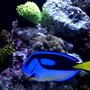 saltwater fish - paracanthurus hepatus - blue tang stocking in 125 gallons tank - Large yellow belly hippo tang