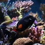 saltwater fish - acanthurus achilles - achilles tang stocking in 210 gallons tank - achilles