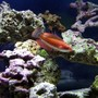 saltwater fish - cirrhilabrus cf temminckii - peacock flasher wrasse stocking in 40 gallons tank - Flasher wrasse