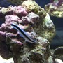 saltwater fish - plotosus lineatus - coral catfish stocking in 40 gallons tank - Zoomi the Cleaner Wrasse