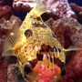 saltwater fish - diodon holocanthus - porcupine puffer stocking in 55 gallons tank - My Porcupine Puffer