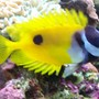 saltwater fish - siganus unimaculatus - one spot foxface stocking in 46 gallons tank - Foxface