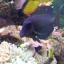 saltwater fish - acanthurus olivaceous - orangeshoulder tang stocking in 46 gallons tank -