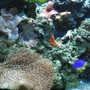 saltwater fish - chrysyptera taupou - fiji blue devil damselfish stocking in 120 gallons tank - Blue damsel