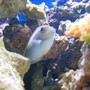saltwater fish - naso vlamingii - vlamingii tang stocking in 125 gallons tank - my vlamingi tang