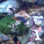 saltwater fish - ecsenius bicolor - bicolor blenny stocking in 55 gallons tank - Bicolor Blenny