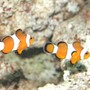 saltwater fish - amphiprion ocellaris - ocellaris clownfish stocking in 55 gallons tank - Marlin and Coral The Clownfish