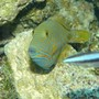 saltwater fish - balistapus undulatus - undulate triggerfish stocking in 110 gallons tank - Undulated Trigger