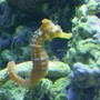 saltwater fish - hippocampus reidi - brazilian reidi seahorse stocking in 155 gallons tank - sea horse