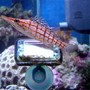 saltwater fish - oxycirrhites typus - longnose hawkfish stocking in 185 gallons tank - update
