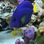 saltwater fish - zebrasoma xanthurum - purple tang stocking in 60 gallons tank - Purple tang (We call Prince), and mini box fish (We call Square pants)