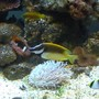 saltwater fish - siganus vulpinus - foxface lo stocking in 95 gallons tank - Foxface Lo, Clownfish, Dusky Dottyback & Angle Fish