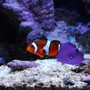 saltwater fish - amphiprion ocellaris - ocellaris clownfish stocking in 20 gallons tank - One of the two clown fish, with a marking on it's left fin.