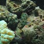saltwater fish - synchiropus picturatus - spotted mandarin stocking in 60 gallons tank - Goby (Mr Rogers)