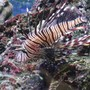 saltwater fish - pterois volitans - volitan lionfish stocking in 55 gallons tank - my small black loin