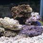 saltwater fish - acanthurus leucosternon - powder blue tang stocking in 75 gallons tank - Only 6 weeks old