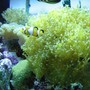 saltwater fish - amphiprion percula - true percula clownfish stocking in 75 gallons tank - my fish 1
