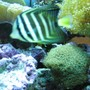 saltwater fish - zebrasoma veliferum - sailfin tang stocking in 75 gallons tank - Sailfin