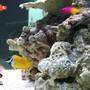saltwater fish - siganus vulpinus - foxface lo stocking in 125 gallons tank - side view of my tank