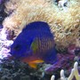 saltwater fish - centropyge bispinosa - coral beauty angelfish stocking in 90 gallons tank - Coral Beauty Posing For Me