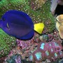 saltwater fish - zebrasoma xanthurum - purple tang stocking in 180 gallons tank - purple tang and GSP