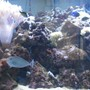 saltwater fish - naso vlamingii - vlamingii tang stocking in 500 gallons tank - 9 month mark on the tank