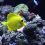"saltwater fish - zebrasoma flavescens - yellow tang - hawaii stocking in 65 gallons tank - YELLOW HAWAIIAN TANG ""SUNNY"""