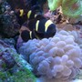 saltwater fish - premnas biaculeatus - yellowstripe maroon clownfish stocking in 65 gallons tank - Yellow Striped Maroon Clownfish - Pair