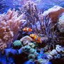 saltwater fish - amphiprion percula - true percula clownfish stocking in 125 gallons tank - Perculas at home