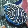 saltwater fish - pomacanthus imperator - emperor angelfish stocking in 125 gallons tank - Juvenile Emperor Angel