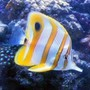 saltwater fish - chelmon rostratus - copperband butterflyfish stocking in 46 gallons tank - Copperband Butterflyfish