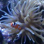 saltwater fish - amphiprion ocellaris - ocellaris clownfish stocking in 210 gallons tank - my little clownfish